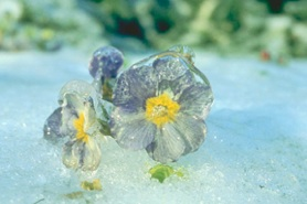 Blue pansy flowers frozen in winter snow.